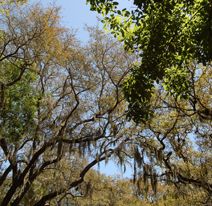 amelia island trees